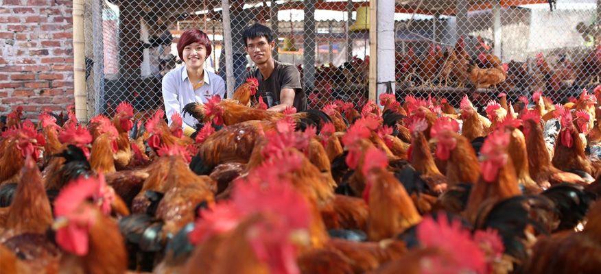 chăn nuôi gà ta