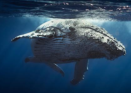 Ảnh nền đẹp 3D Cá voi xanh