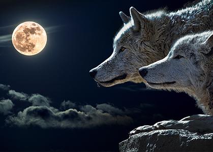 Hình nền 3D chó sói