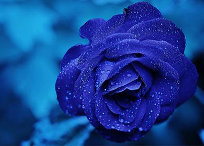 Ảnh nền 3D hoa hồng xanh