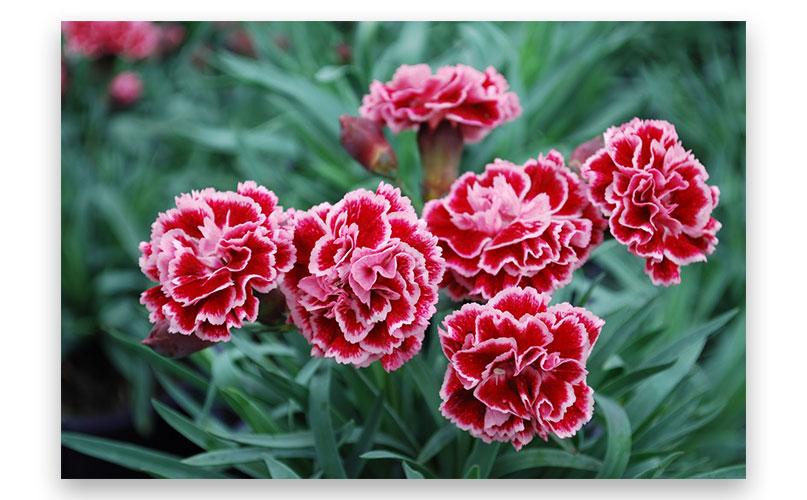 Hoa tặng ba má nhân sinh nhật