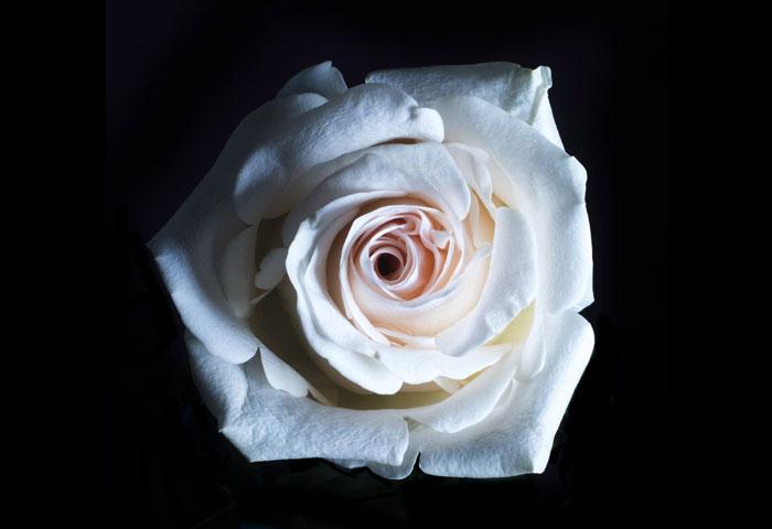 hình ảnh đẹp về hoa hồng trắng