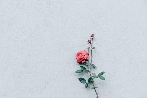 ảnh Powerpoint hoa hồng